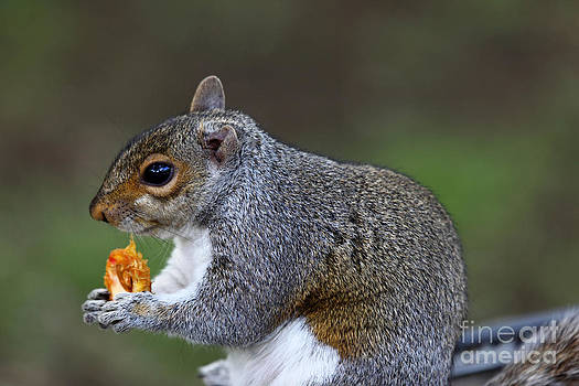 James Brunker - Grey Squirrel Tucking In