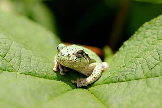 Grey Tree Frog by David Pickett