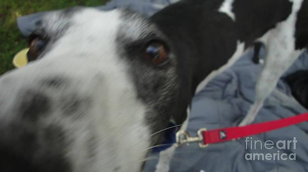 Greyhound Rescue 9 by Jackie Bodnar