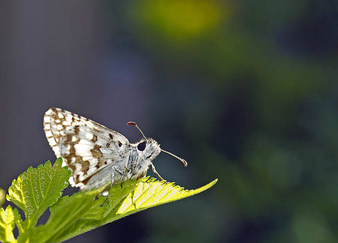 Michael Peychich - Grizzled Skipper two