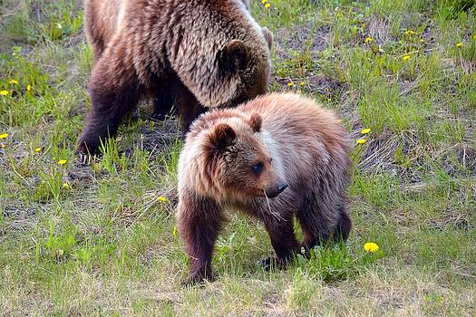 Grizzlies on Alcan Hwy by Duane King