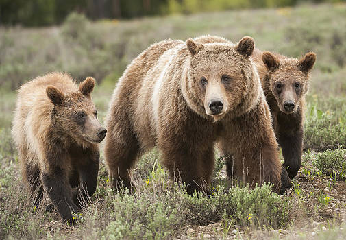 Grizzly 399 and Her Cubs by Amy Gerber