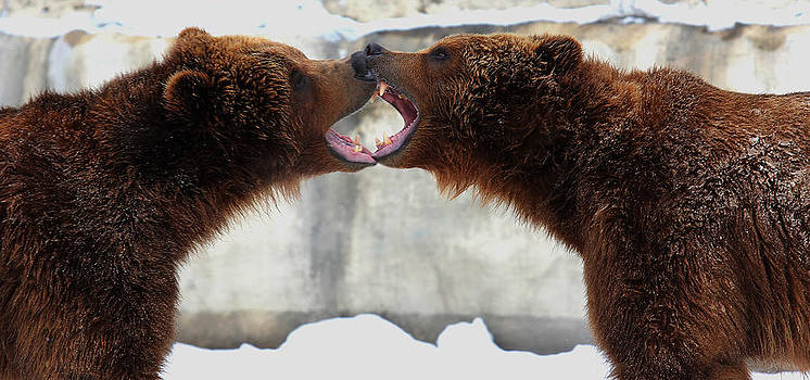 Grizzly bears Facing Off by Jerome Lynch