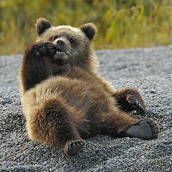 Grizzly Cub Lake Clark Alaska by David Marr