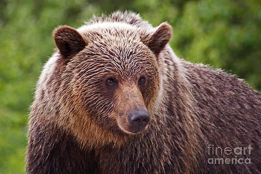 Stanza Widen - Grizzly Portrait