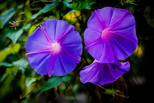 Ground Morning Glory Singapore Flower by Donald Chen