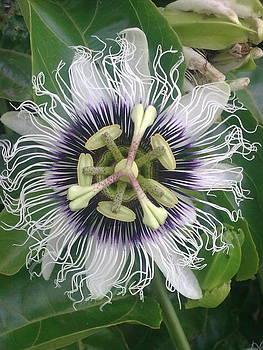 Guavadilla Flower by Jeannine Davidoff