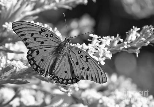 Adam Jewell - Gulf Fritillary Black And White
