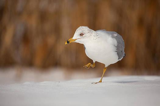 Karol  Livote - Gull Dance