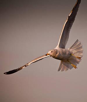 Gull Flight by Dave Weth