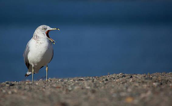Karol  Livote - Gulls Call