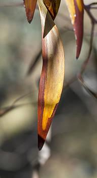 Steven Ralser - Gum Leaf - Australia