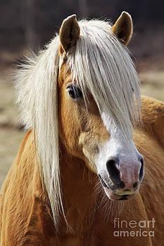 Angela Doelling AD DESIGN Photo and PhotoArt - Haflinger horse