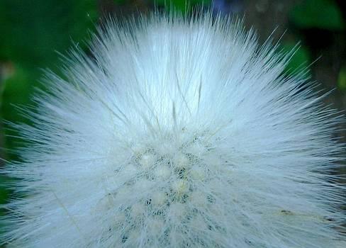 Hairy plant by Jo Ann