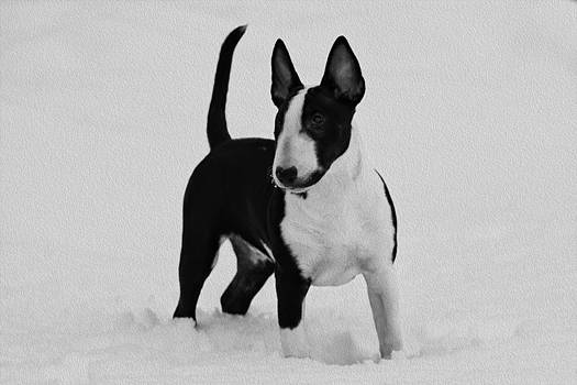 Handsome Bull Terrier Puppy in Black and White by Lisa Hufnagel