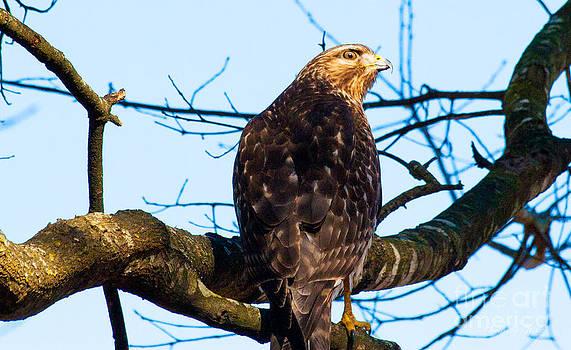 Handsome Hawk by Jinx Farmer