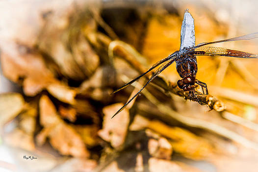Barry Jones - Dragonfly - Macro - Handstand