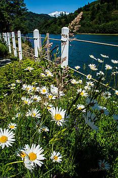 Mick Anderson - Happy Daisies in the Oregon Sun