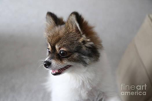 Happy Pomeranian by Suzi Nelson