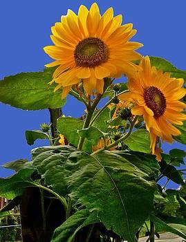 Happy Sunflowers by Carita guyett