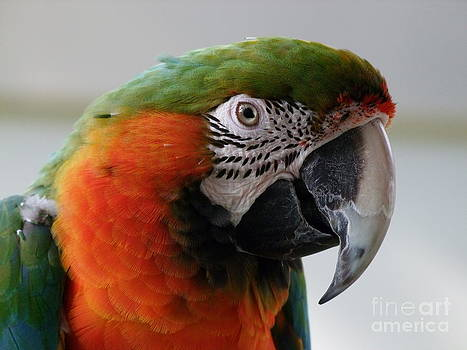 Mary Deal - Harlequin Macaw