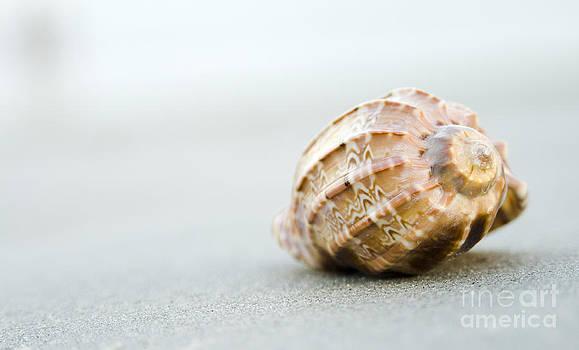 Harpa Seashell by Cynthia Holling-Morris