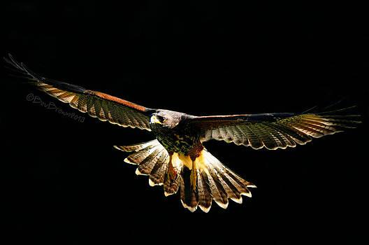 Harris Hawk by Bev  Brown
