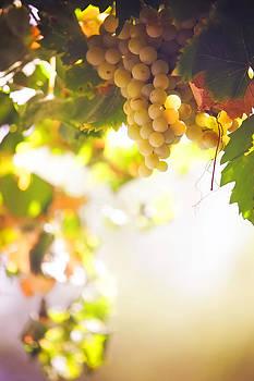 Jenny Rainbow - Harvest Time. Sunny grapes I