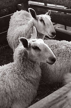 Have You Any Wool by Sharon Sefton