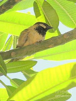 Mary Deal - Hawaii Bird - Akekee