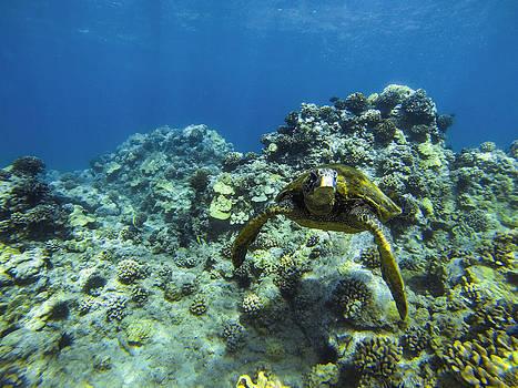 Hawaiian Green Sea Turtle by Brad Scott