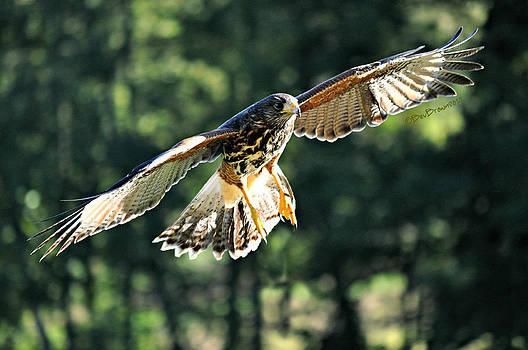Hawk in the Wood by Bev  Brown