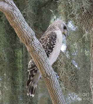 Hawk by Kristy Ollis