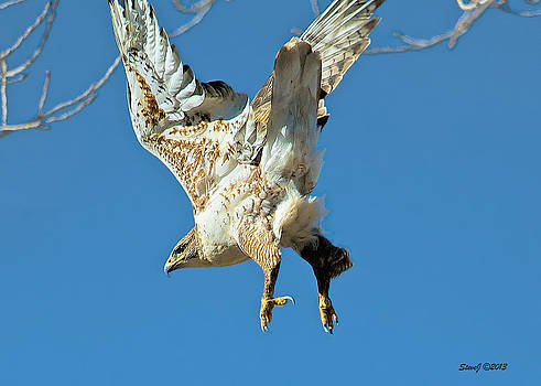 Hawk Lift Off by Stephen  Johnson
