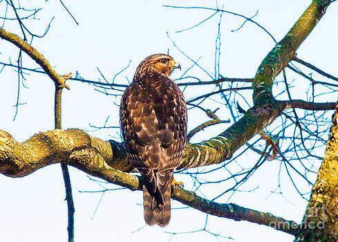 Hawk Love by Jinx Farmer