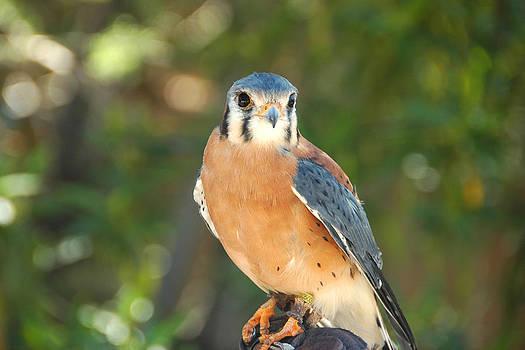 Hawk by Paul Van Baardwijk