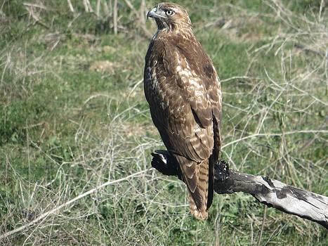 Hawk by Shawn Minor