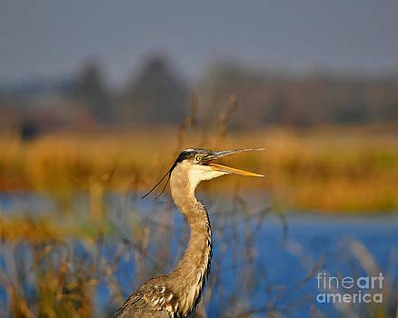 Hawking Heron by Al Powell Photography USA