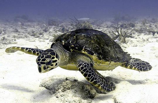 Hawksbill Caribbean Sea Turtle by Amy McDaniel