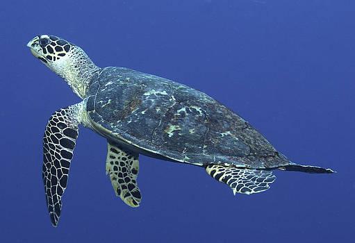 Hawksbill Turtle by Paula Marie deBaleau