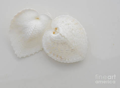 Heart cockles by Cynthia Holling-Morris