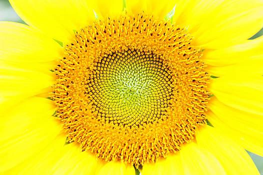 Heart of a sunflower by Kelley Nelson