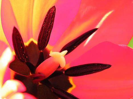 Heart of a Tulip by Tanya Arends
