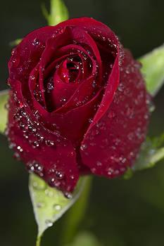 Heart Shaped Rose by Alex Galiano