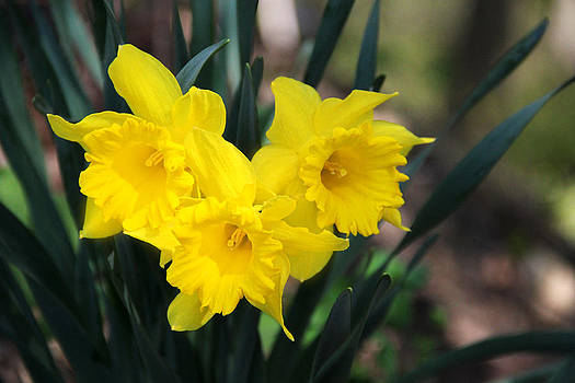 Hearty Daffodils by Mary Burr