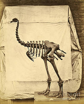 Getty Research Institute - Heavy Footed Moa Skeleton