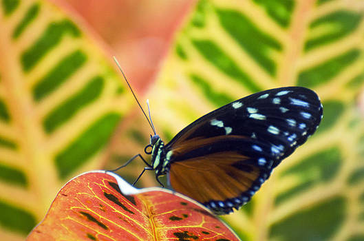 Hecale Longwing Butterfly by Cheryl Cencich