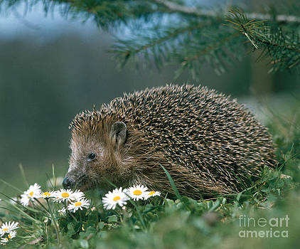 Hans Reinhard - Hedgehog With Flowers