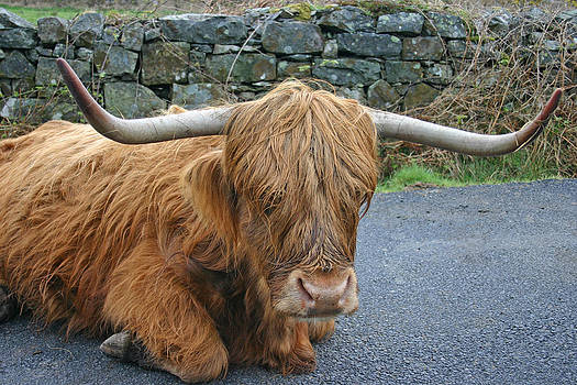 Heilan' Coo by Fraser McCulloch