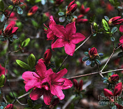 Hello Beautiful Dark Pink Azaleas by Eva Thomas